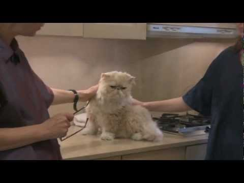 Persian Cat Grooming With The Pet Maven