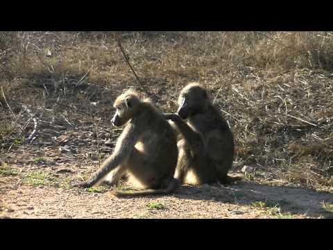 Kruger Park - Baboons Grooming