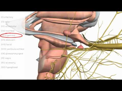 Cranial Nerves Basics - 3D Anatomy Tutorial