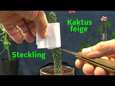 Sukkulente Feigenkaktus Steckling bewurzeln ganz einfach