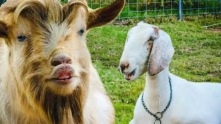 What happens when a BIG & LITTLE goat fall in love? 😍