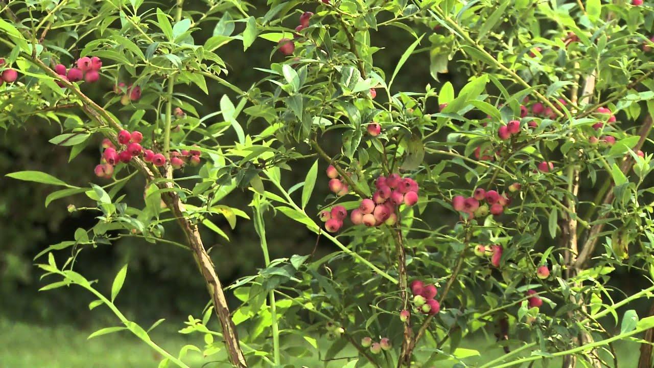 Клюква садовая : посадка и уход на дачном участке 37