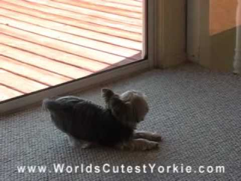 pictures of yorkies with tails