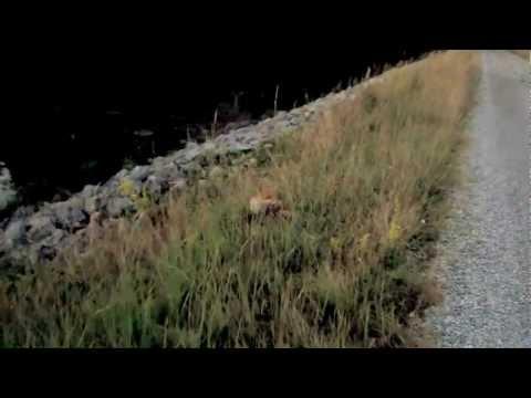 Frecher Fuchs