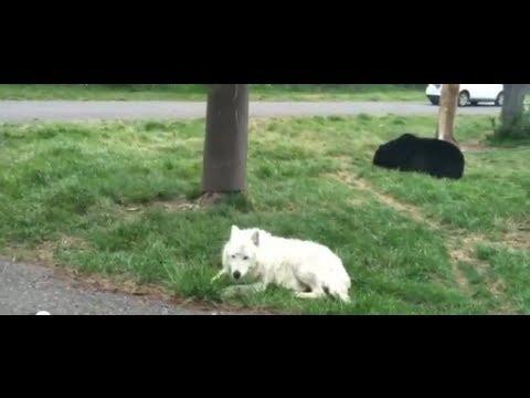 Rare White Wolf