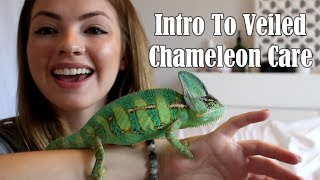 Intro to Veiled Chameleon Care
