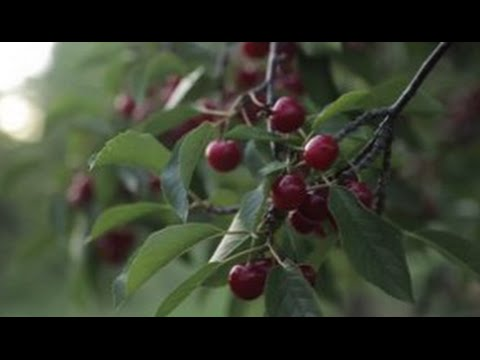 Wisconsin Foodie - Seaquist Orchards, Quince & Apple, & Cherryfest