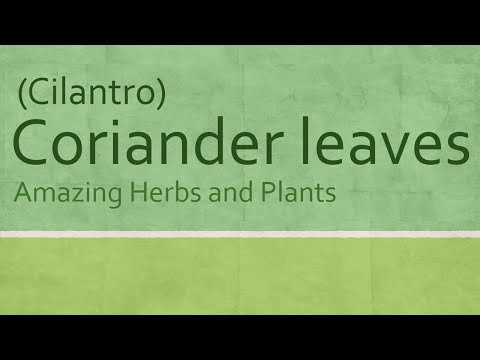 Coriander leaves Health Benefits - health Benefits of Cilantro - Amazing Herbs and Plants