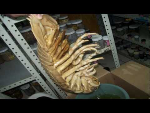 The Giant Singing Isopod