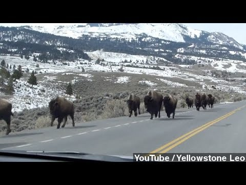 Fleeing Yellowstone Bison Not Predicting Eruption