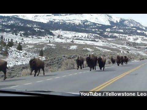 Fleeing Yellowstone Bison Not Predicting Eruption