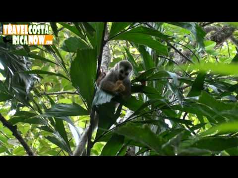 Manuel Antonio Costa Rica Squirrel Monkeys Video