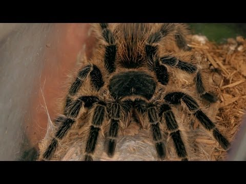 How to Treat a Tarantula Bite | Pet Tarantulas