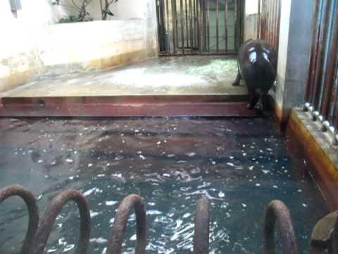 東山動物園 コビトカバ コウメ