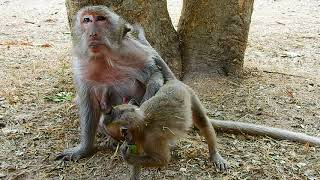Oh yes old monkey Tima with young monkey do like this