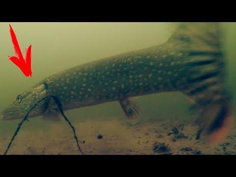 Большая ЩУКА Схватила ЖИВЦА! Рыбалка Осень 2017 | Подводная съемка