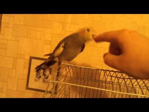 Попугай Корелла Петруша. Corella parrot Petrusha