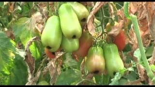 Coltivazione pomodori manutenzione e scacchiatura viyoutube for Scacchiatura pomodori