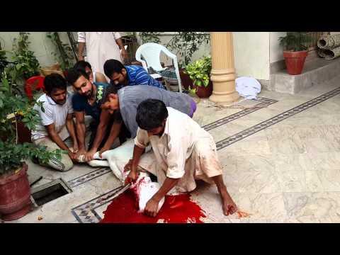 Ahsan Sheikh big goat qurbani video lahore 2014