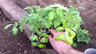 How to Save Money Planting Tomato Plants