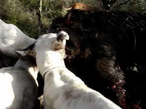 caza de jabalí en bahía blanca
