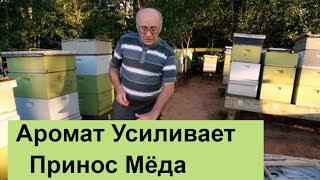 пчеловодство для начинающих -№101 Аромат Усиливает Принос Мёда.
