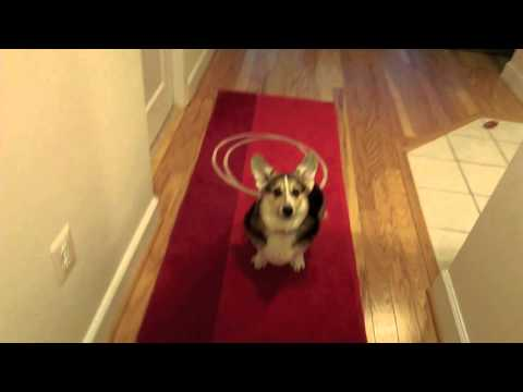 [Poetry]Corgi gets me a Kleenex