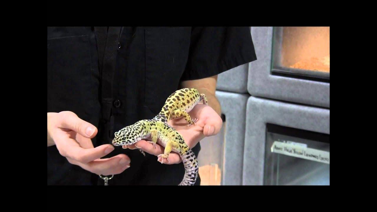 Pics of adult leopard geckos confirm. happens