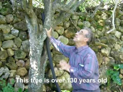 MALTA: Gozo-Xaghra Orange Orchard