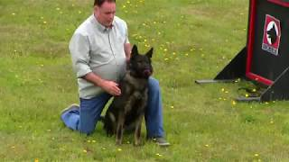 Kraftwerk K9 German Shepherd dog top-notch obedience!