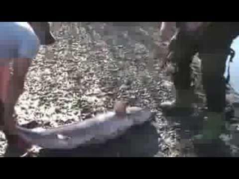 Рыбалка . Гигантская рыба , Таймень ;   Fishing . big fish