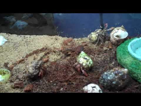 Basic Hermit Crab care