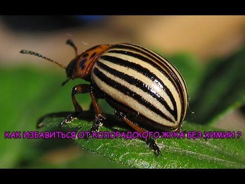 Колорадский жук. Как избавиться от колорадского жука без химии.