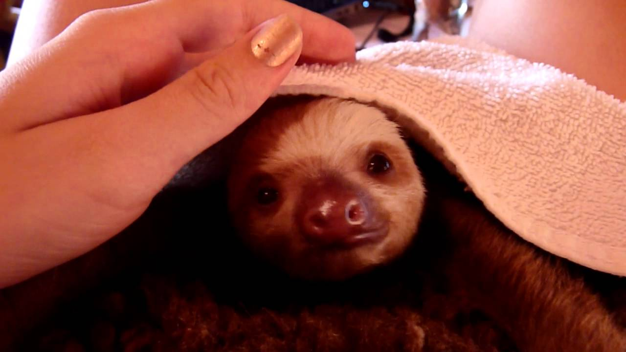 Baby sloth yawning - YouTube