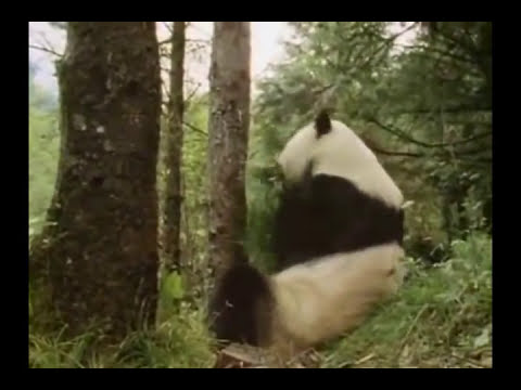 Oso Panda(Documental)Quinta Parte