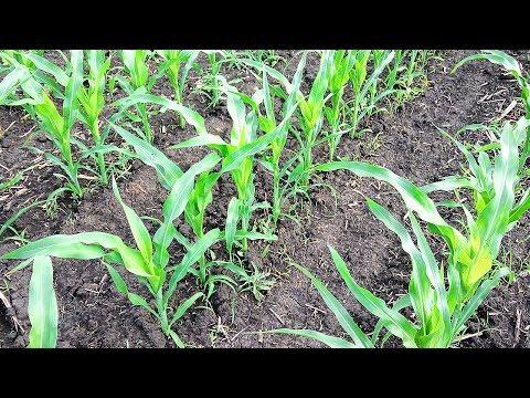 Кукуруза по дисковке. Стимулируем Микроэлементами, Гуматом калия, Карбамидом.  Сельское хозяйство.