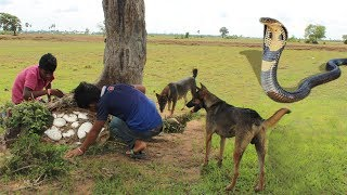 Smart Dogs Save Boys and Help Fight King Cobra - Battle Dogs Vs King Cobra