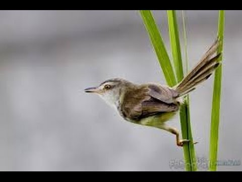 Burung Master : Ciblek Alang-Alang Gacor