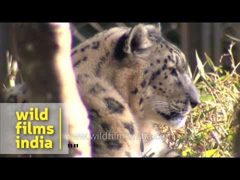 Snow Leopard or Uncia uncia - Sikkim, India