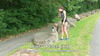 """5.5mo Beagle """"Daisy"""" Before and After - Raleigh Durham Dog Training"""