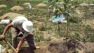 Plantando un arbol de aguacate
