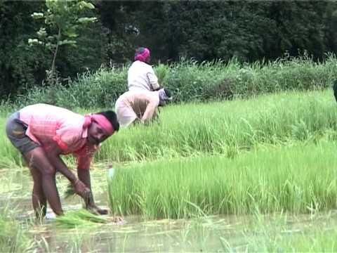 Chhattisgarh's Farmer Farming on his Farm on Sawan Rainy Season