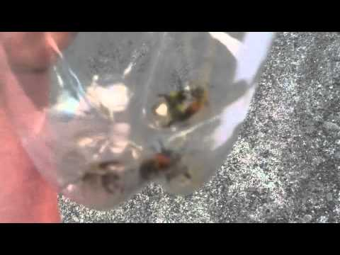 Angry Bees In A Bottle video