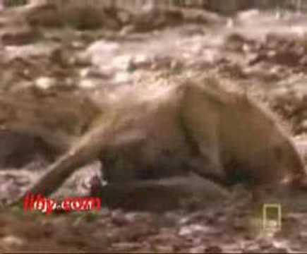 monkey gets head caught inside crocodile