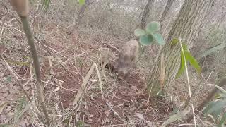 【イノシシ狩猟動画】仕留めるのはこいつが一番