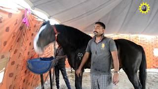 Marwadi stallion jay dev no more in the world  25 april 2017 श्रद्धांजलि