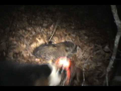 Coon Hunting. Split treed and the garmin astro Video