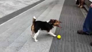 Un inteligente perro Jack Russell Terrier juega consigo mismo