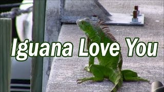 """Iguana Love You"" Iguana Song"