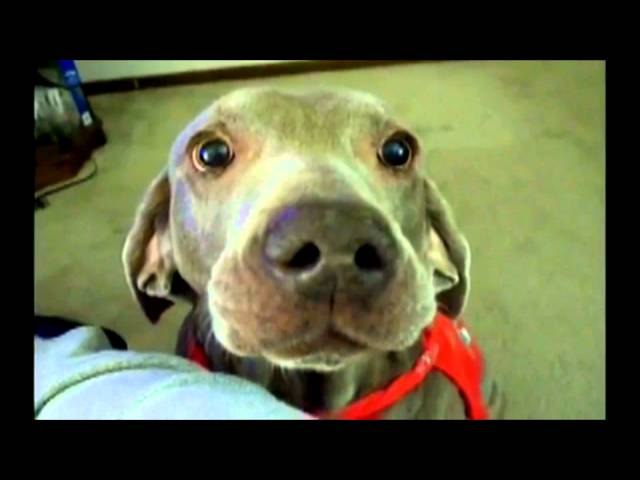 Super Funny Dog its Super Britney the worlds funniest talking weimaraner dog